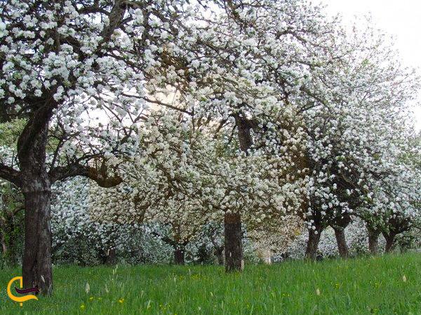 عنبران در بهار