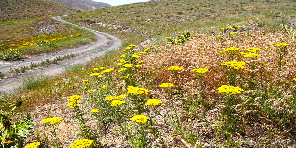 پوشش گیاهی در اطراف مشهد د خراسان رضوی