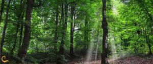 جنگل تابستانی راش