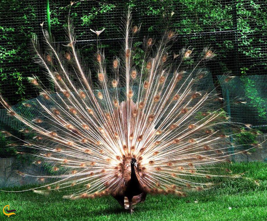 طاووس های باغ پرندگان کیش
