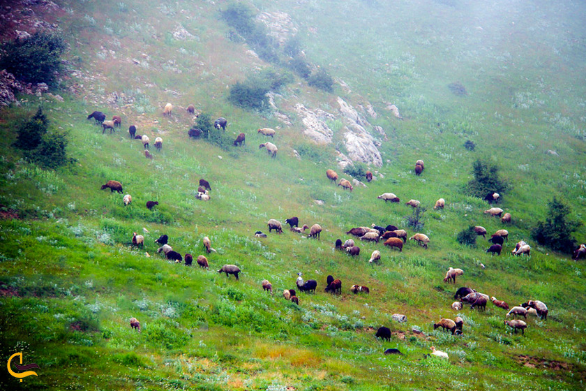 گله گوسفند در جنگل ابر