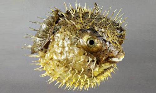 جوجهتیغ ماهی خالدار