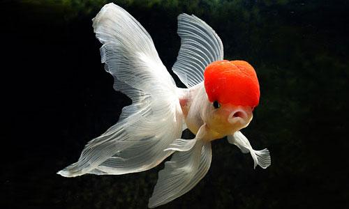 عروس ماهی