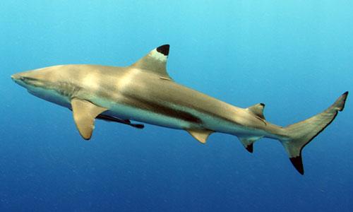 کوسه ماهی باله سیاه