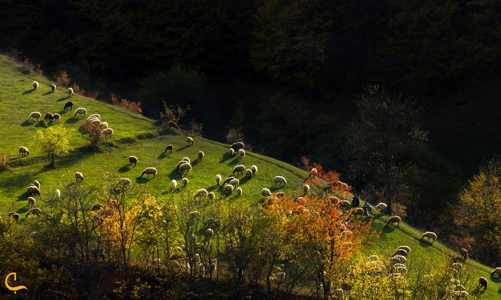 چرای دامها در مراتع جنگلهای هیرکانی ارسباران