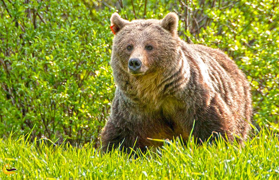 خرس در جنگل ارسباران