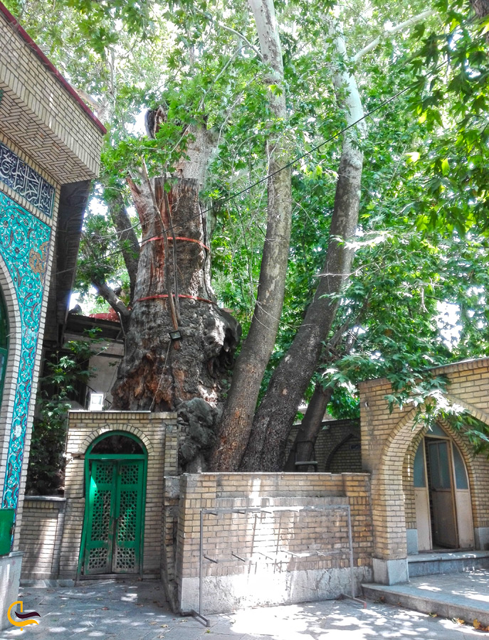 درخت کهنسال برغان
