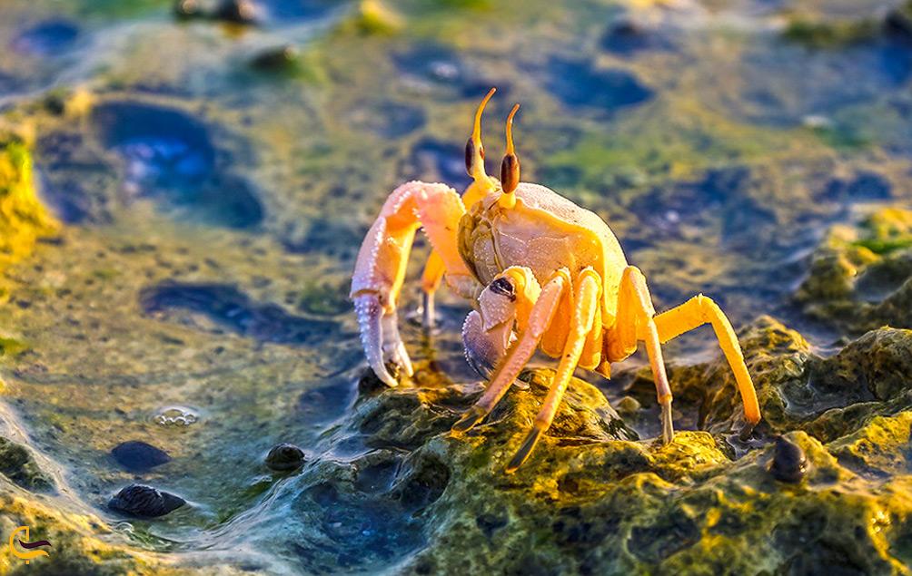 خرچنگ در جزیره هندورابی