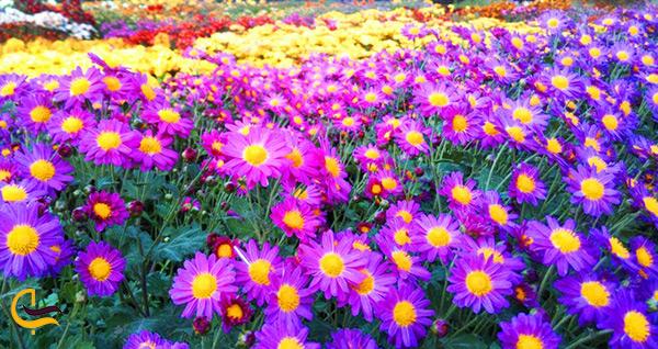 گل های داوودی بنفش در باغ گیاه شناسی مشهد