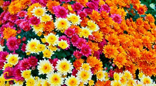 گل های داوودی رنگارنگ