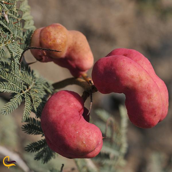 گیاهی عجیب و نادر به نام جغجغه در شهر شوش