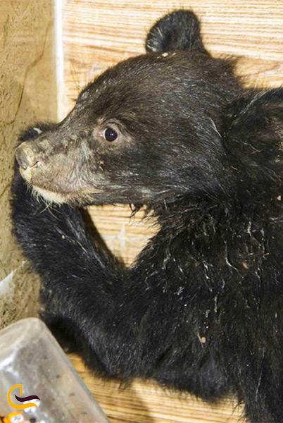 خرس سیاه بلوچی در زاهدان