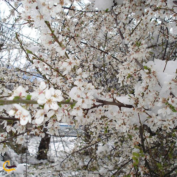 شکوفه های بهاری درختان جنگل روستای زرین گل