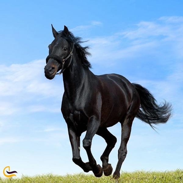 نژاد اصیل اسب ترکمن