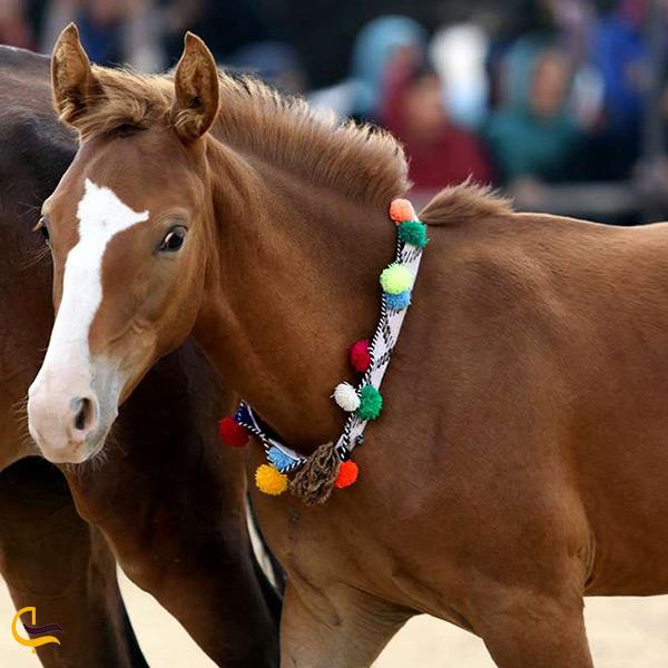 نژاد اصیل اسب ایرانی ترکمن