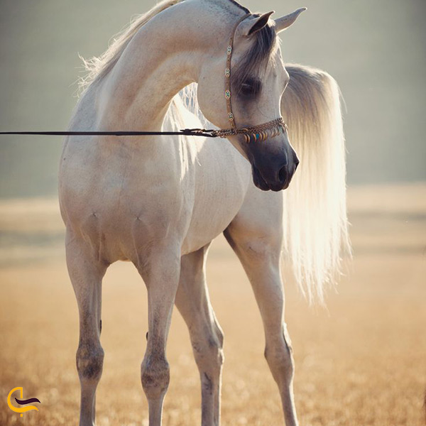 توله اسب اصیل ترکمن