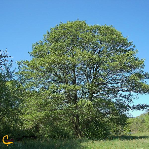 درخت توسکا پوشش گیاهی جنگل های ساری