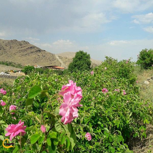 گل محمدی شهر کاشان