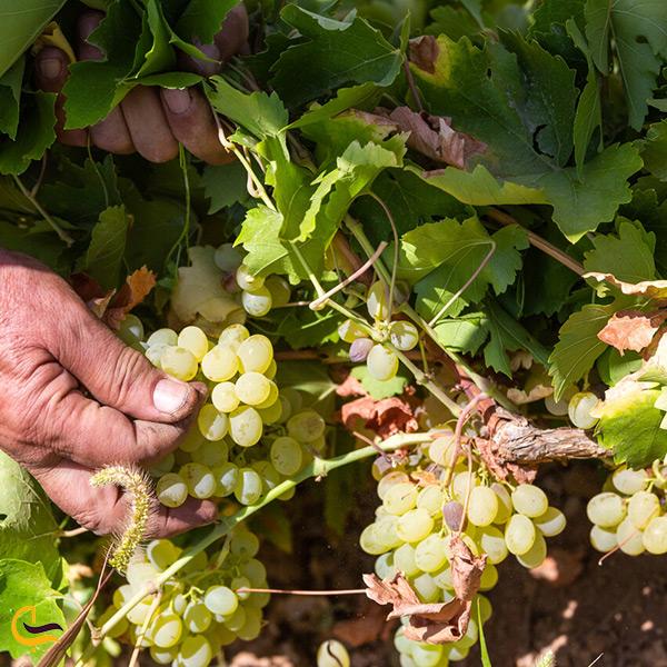 باغات انگور شهرضا