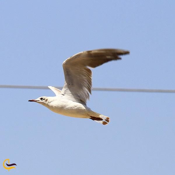 کاکایی ها پرنده مهاجر شهرستان پیشوا