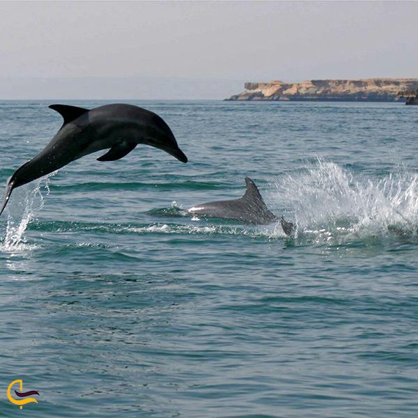 تماشای رقص دلفین ها در قشم