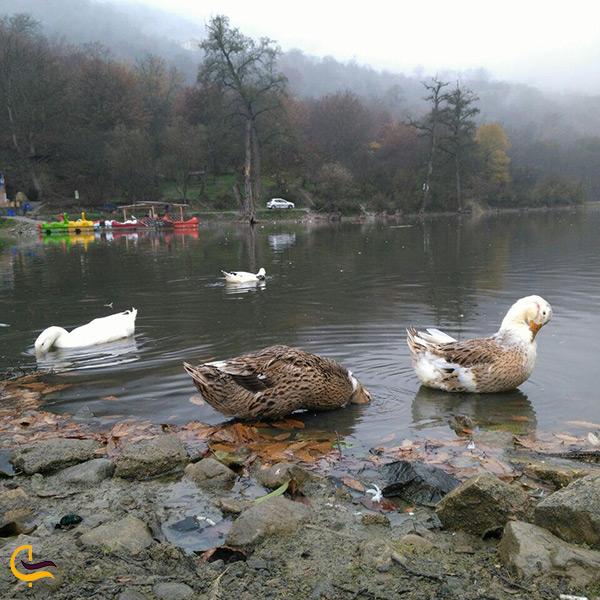 تصویر اردک های زیبا دریاچه شورمست