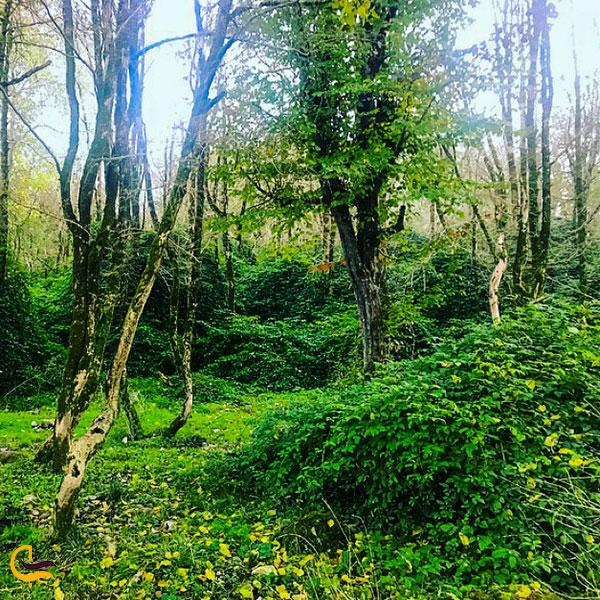 درختان شمشاد ایرانی در جنگل سی سنگان