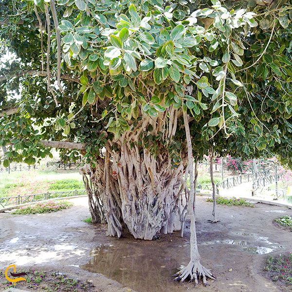 تصویری از درخت سبز کیش