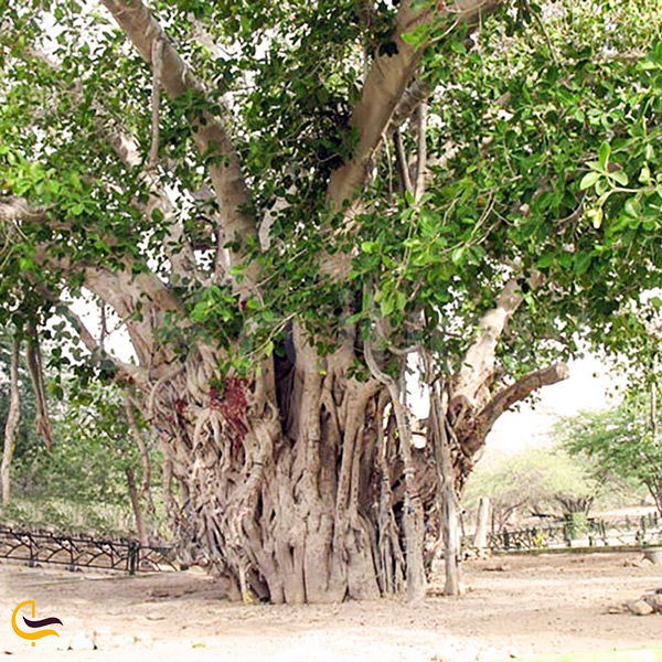 نمایی از درخت سبز کیش