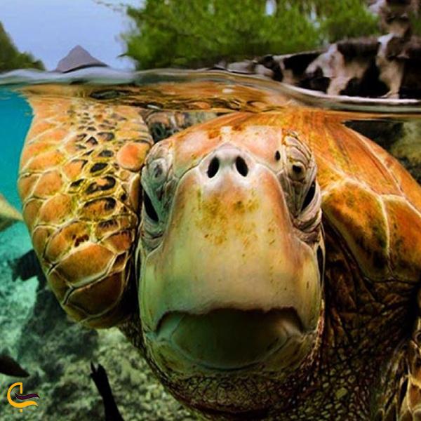 تصویری از لاکپشت عقابی دریایی خلیج فارس