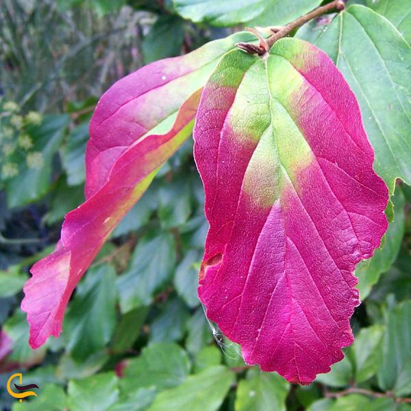 تصویری از برگ درخت آهن مازندران