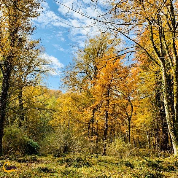 تصویری پاییزی از درختان جنگل بلیران آمل