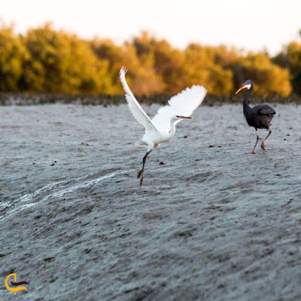 تصویری از پرنده های مهاجر جنگل حرا عسلویه