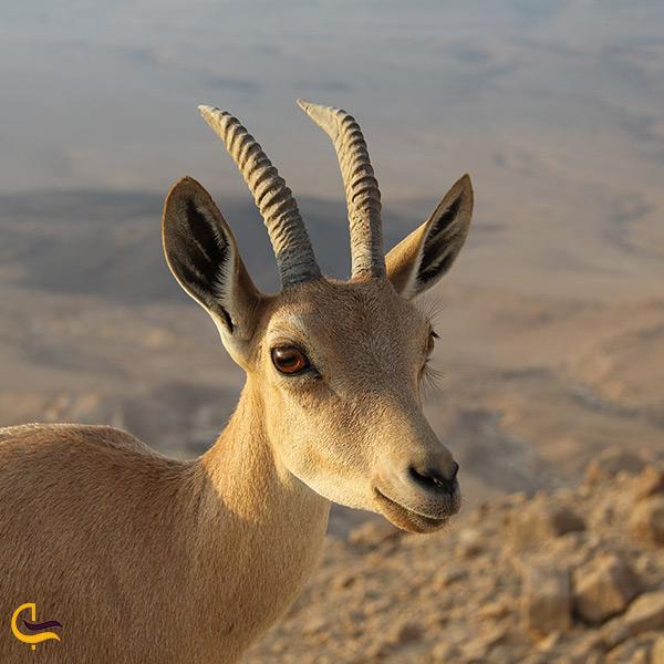 بز کوهی از حیوانات پوشش جانوری شهر کرج