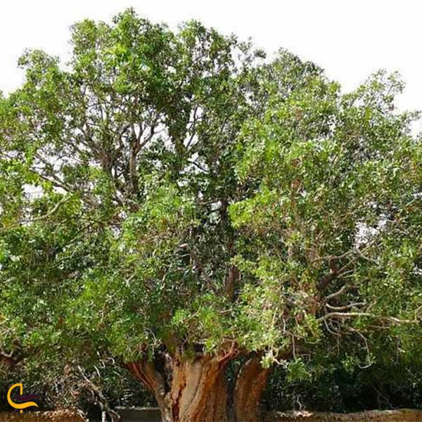 نمایی از درخت پسته اودرج