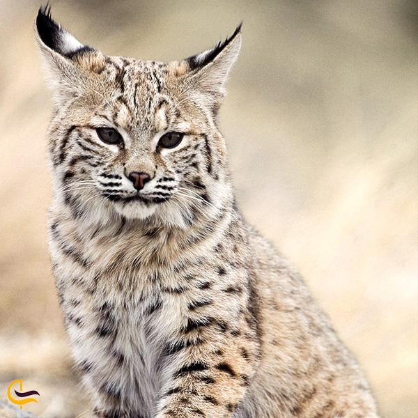 نمایی از گربه وحشی خلیج فارس