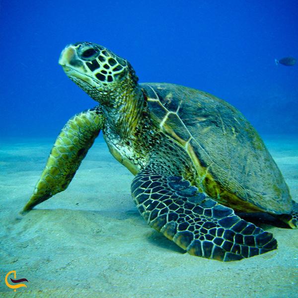 تصویری از لاکپشت سبز خلیج فارس