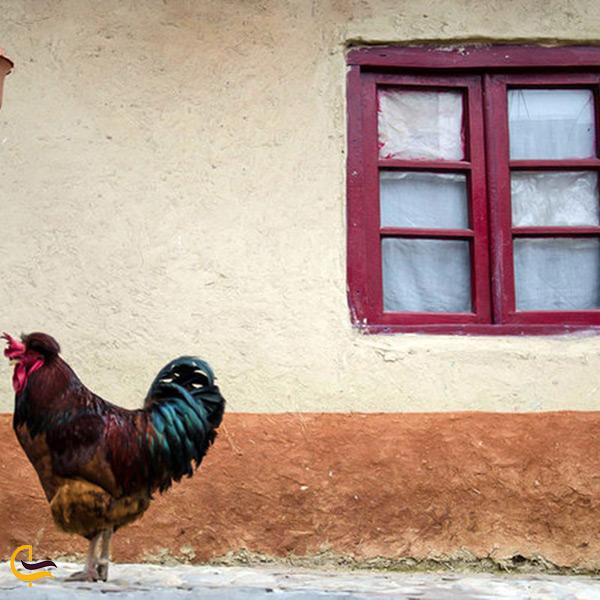 تصویر خروس در روستای زروم هزار جریب نکا