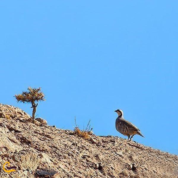 نمایی از حیوانات در منطقه حفاظت شده ساری گل اسفراین
