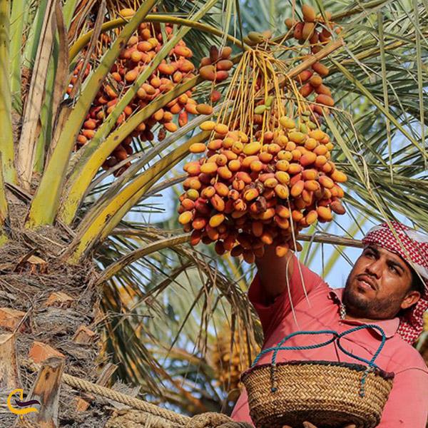 تصویری از درخت خرما سوغات خرمشهر