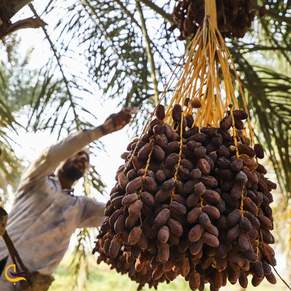 تصویری از خرما سوغات خرمشهر