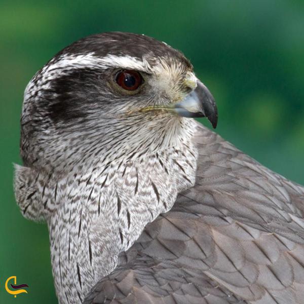 تصویری از پرنده طرلان در طبیعت خلخال