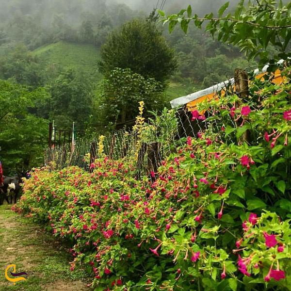 تصویری از گلهای زیبا در روستای فوشن فومن