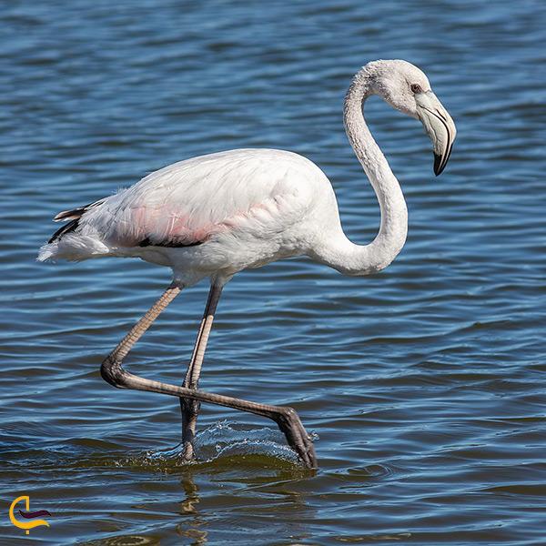 فلامینگو سفید در دریاچه ارومیه