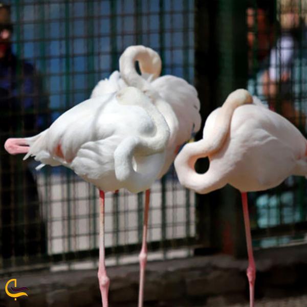تصویری از فلامینگو در باغ وحش وکیل آباد مشهد