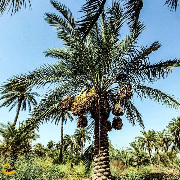 تصویری از نخل نخلستان خرمشهر