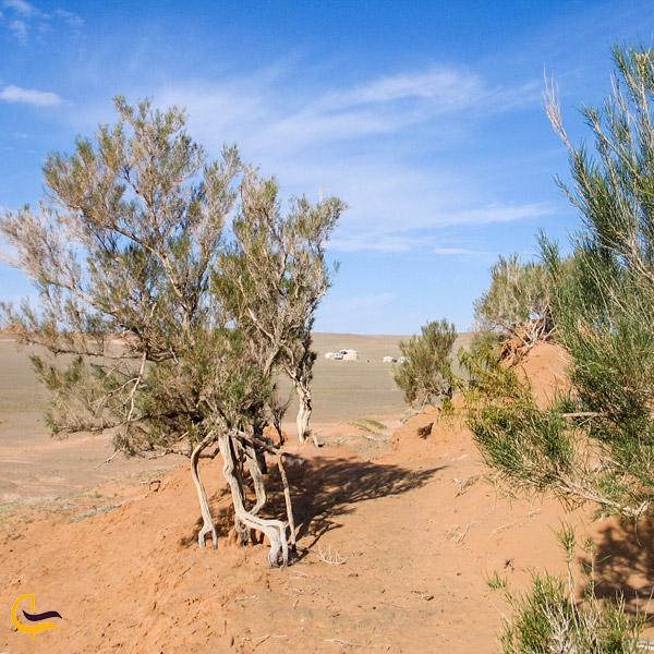 نمایی از درخت تاغ در کویر