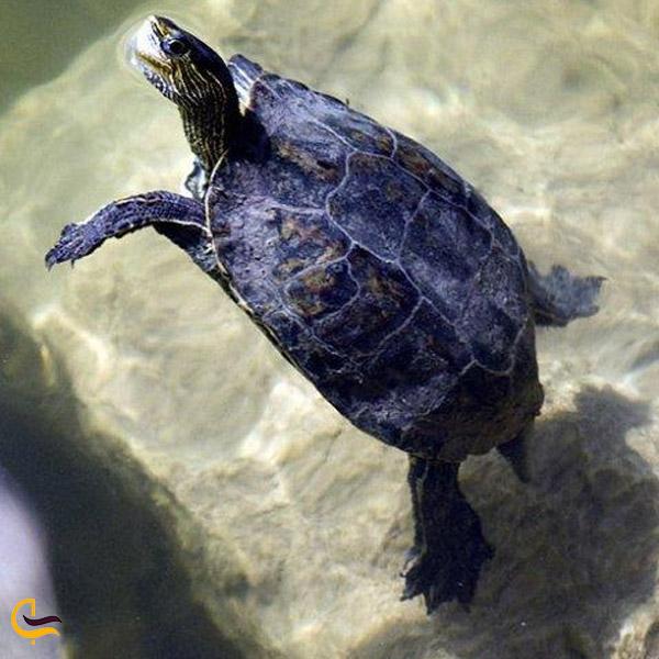 تصویری از لاکپشت در تالاب هشیلان کرمانشاه