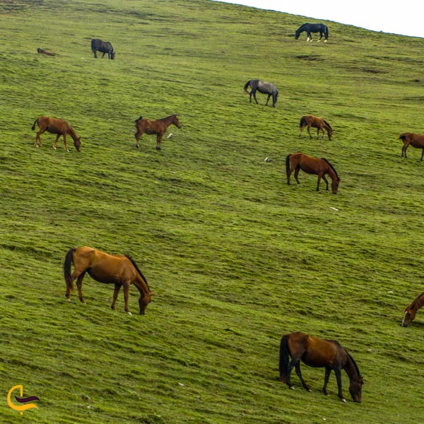 تصویری از گله اسب در طبیعت سرسبز اسالم به خلخال