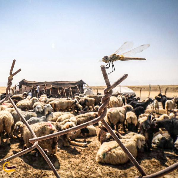 تصویری از گوسفند عشایر جاده ی اسالم به خلخال